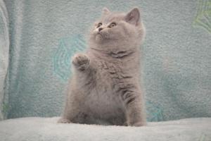 Koty Brytyjskie Niebieskie Betty Niebieskie Misie (19)