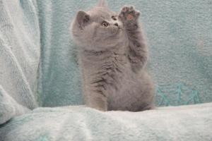 Koty Brytyjskie Niebieskie Betty Niebieskie Misie (25)