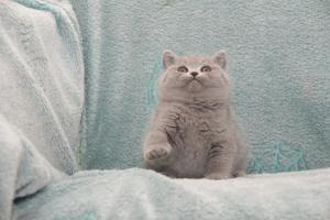 Koty Brytyjskie Niebieskie Betty Niebieskie Misie (28)