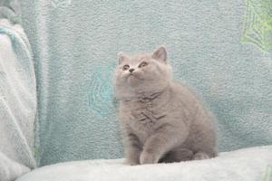 Koty Brytyjskie Niebieskie Betty Niebieskie Misie (3)