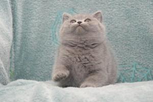 Koty Brytyjskie Niebieskie Betty Niebieskie Misie (31)
