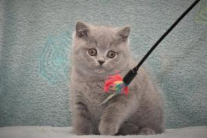 Koty Brytyjskie Niebieskie Betty Niebieskie Misie (4)