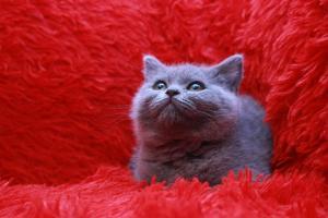 Koty Brytyjskie Niebieskie Miot W