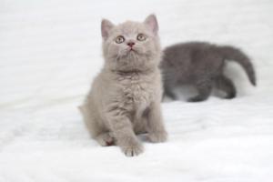 Koty Brytyjskie Liliowe Pipi (10)