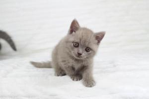 Koty Brytyjskie Liliowe Pipi (11)