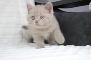 Koty Brytyjskie Liliowe Pipi (13)