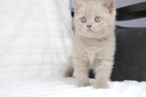 Koty Brytyjskie Liliowe Pipi (14)