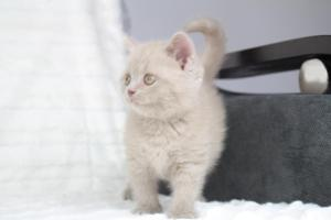 Koty Brytyjskie Liliowe Pipi (15)