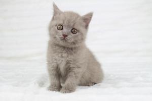 Koty Brytyjskie Liliowe Pipi (18)