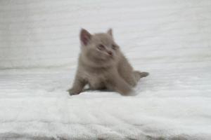 Koty Brytyjskie Liliowe Pipi (25)