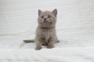 Koty Brytyjskie Liliowe Pipi (5)