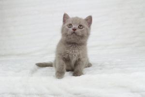 Koty Brytyjskie Liliowe Pipi (6)