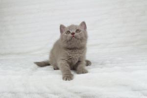 Koty Brytyjskie Liliowe Pipi (8)