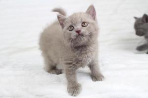 Koty Brytyjskie Liliowe Pipi (9)