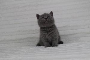 koty brytyjskie niebeiskie krótkowłose-Radek (1)