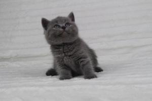 koty brytyjskie niebeiskie krótkowłose-Radek (12)