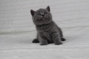 koty brytyjskie niebeiskie krótkowłose-Radek (13)