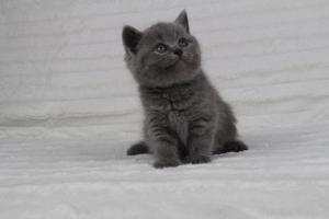 koty brytyjskie niebeiskie krótkowłose-Radek (15)