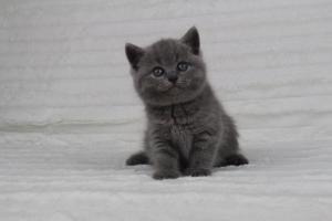 koty brytyjskie niebeiskie krótkowłose-Radek (21)