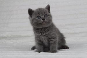 koty brytyjskie niebeiskie krótkowłose-Radek (22)