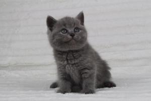 koty brytyjskie niebeiskie krótkowłose-Radek (23)