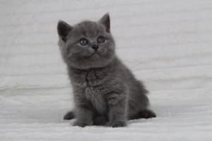 koty brytyjskie niebeiskie krótkowłose-Radek (24)