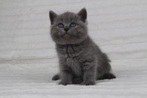 koty brytyjskie niebeiskie krótkowłose-Radek (26)