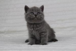 koty brytyjskie niebeiskie krótkowłose-Radek (27)