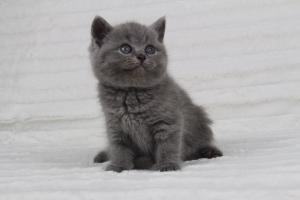 koty brytyjskie niebeiskie krótkowłose-Radek (28)