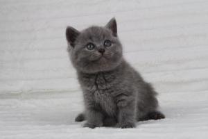 koty brytyjskie niebeiskie krótkowłose-Radek (29)