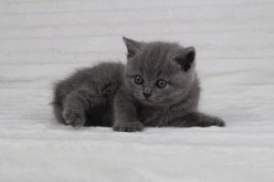 koty brytyjskie niebeiskie krótkowłose-Radek (5)