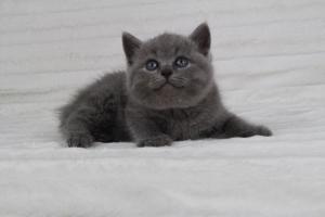 koty brytyjskie niebeiskie krótkowłose-Radek (6)