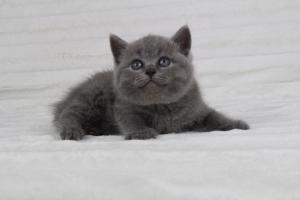 koty brytyjskie niebeiskie krótkowłose-Radek (7)