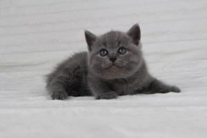 koty brytyjskie niebeiskie krótkowłose-Radek (8)