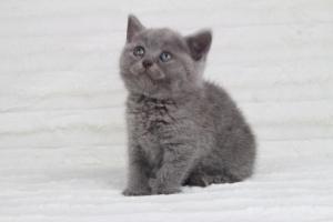 koty brytyjskie niebeiskie krótkowłose-Rita (1)