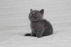 koty brytyjskie niebeiskie krótkowłose-Rita (10)