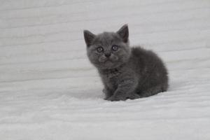 koty brytyjskie niebeiskie krótkowłose-Rita (11)