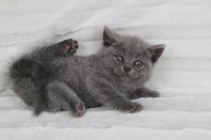 koty brytyjskie niebeiskie krótkowłose-Rita (14)