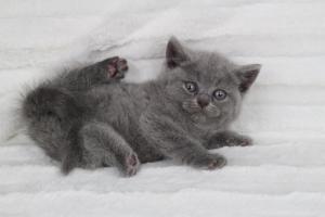 koty brytyjskie niebeiskie krótkowłose-Rita (15)