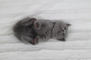 koty brytyjskie niebeiskie krótkowłose-Rita (16)