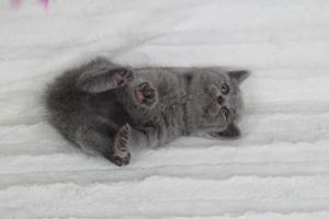 koty brytyjskie niebeiskie krótkowłose-Rita (17)