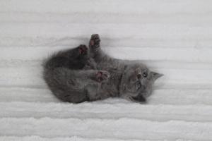 koty brytyjskie niebeiskie krótkowłose-Rita (18)