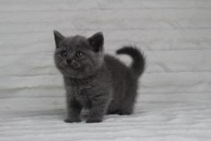 koty brytyjskie niebeiskie krótkowłose-Rita (2)