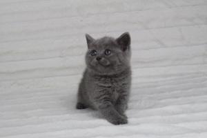 koty brytyjskie niebeiskie krótkowłose-Rita (21)