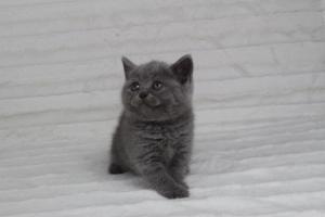 koty brytyjskie niebeiskie krótkowłose-Rita (22)