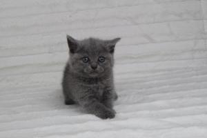koty brytyjskie niebeiskie krótkowłose-Rita (23)