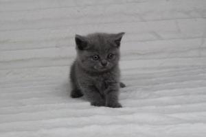 koty brytyjskie niebeiskie krótkowłose-Rita (24)