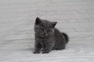 koty brytyjskie niebeiskie krótkowłose-Rita (3)