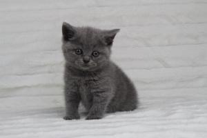 koty brytyjskie niebeiskie krótkowłose-Rita (4)