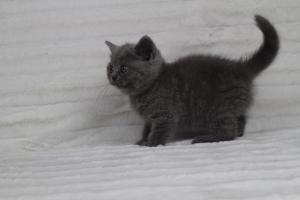koty brytyjskie niebeiskie krótkowłose-Rita (5)